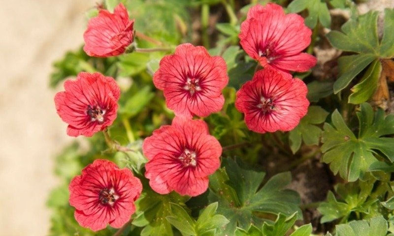 Geranium Jolly Jewel Salmon